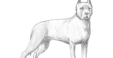 ¿Cómo dibujar un perro Pitbull paso a paso a lápiz?