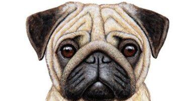 Cómo dibujar un perro PUG a lápiz paso a paso