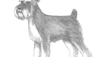 como dibujar un perro schnauzer paso a paso a lápiz